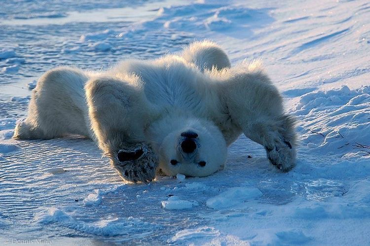 ©dennis minty polar bear stretch