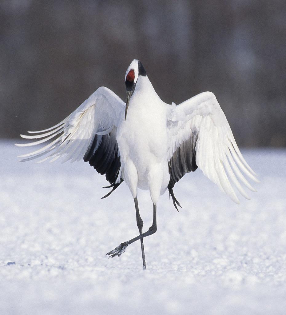 dancing crane (grus japonesis) ©michael peck